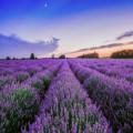 Lavender 4851