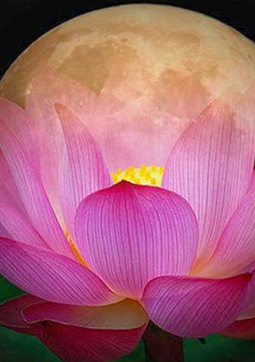 Lotus Moon 4467